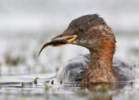 monster from the deep - little grebe by Jamie-MacArthur