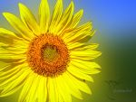 sun flower dof by MadManTnT