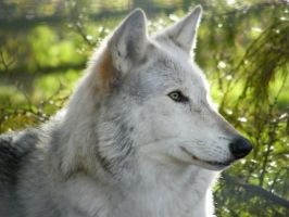 Wolf Portrait Stock 11 by Clickitysnip-Stock