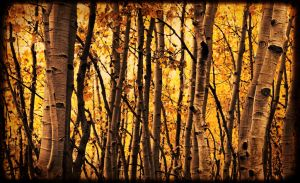 aspens by kariannphotography
