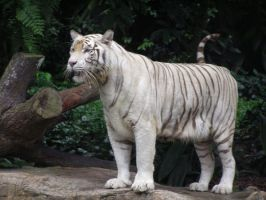 White tiger 5 by sbmdestock