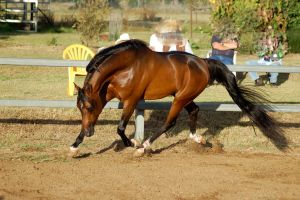 JA Arab Bay Big Trot head lowered by Chunga-Stock