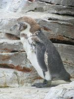 Animals 082 - penguin by Dreamcatcher-stock