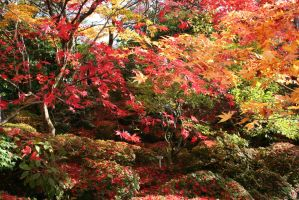 red maple by Shreever