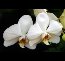 White Orchids by Vividlight