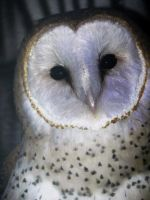 Barn Owl by Passion-For-Pictures