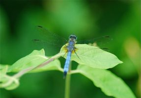 Dragonfly 1 by LateRose-Stock