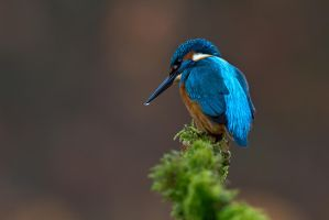 King-fisher by Arafinwearcamenel