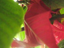Poinsettia V by BaronOfTheWillows