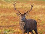 Red Stag by ady77