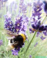 buzzy bees like lavender by IamNasher