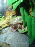 Kat's Tree Frog- Inner Peace by Miss-Interocitor
