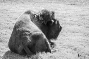 American Bison by EdgedFeather