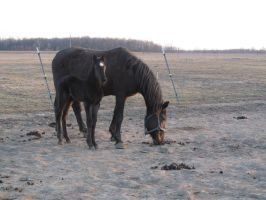 Morgan horse and filly: STOCK by Lythre-does-photos