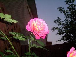 looking up at rose from side by LovinDigital