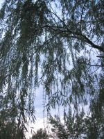 Weeping Willow Branches by r-a-i-n-y