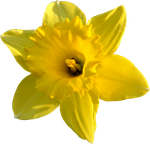 Daffodil Stock by PomPrint