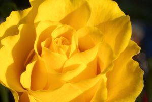 Yellow Rose by LaChRiZ