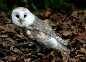 Barn Owl in the Autumn Leaves by ryanhacking