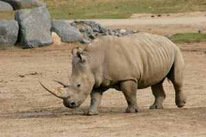 WAP 09 Northern White Rhino by Atmosphotography