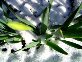 Daffodils 2 by westface2
