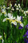 White Irises by BlueSolitaire