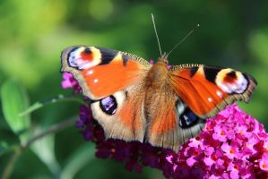 Butterfly in the garden by ShikuraPhotographs