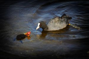 Coot by JoostvanD