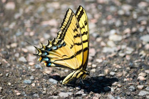 Confused Tiger Swallowtail by Chiller252