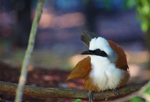 White-Crested Laughingthrush by Danarchy84