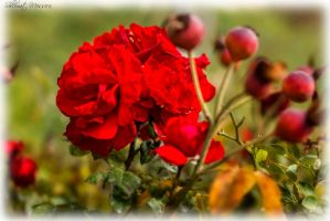 Roses are blooming again by ShlomitMessica