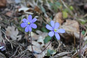 Anemone hepatica by Beccis1995
