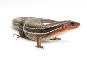 Skink by ribbonworm