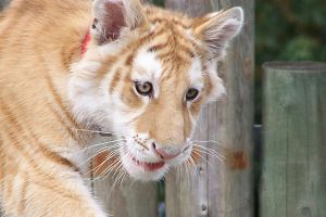Baby Golden Tiger by AustrailiazTrueTaz