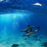 A-pair-of-dolphins-playing-in-sunrays-underwater-2 by Vitaly-Sokol