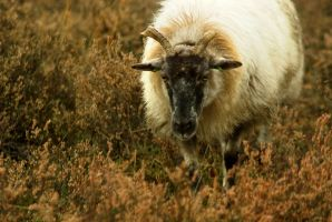 Drenthe Heath Sheep - black-faced by steppeland