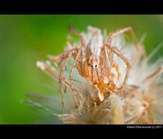Spider by allanddharmawan
