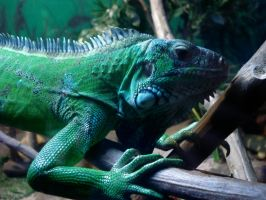Iguana by MoonchildLuiza