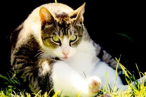 Stock Animal - Tabby Cat by Carol-Moore