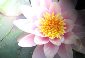 Water Lily by TheDementedLord