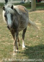 Miniature Horse 5 by stockhorse