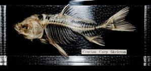 crucian carp skeleton by Nimgaraf