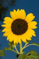 Sunflower2 by archaeopteryx-stocks