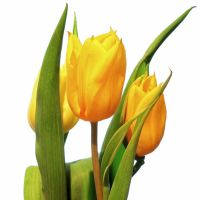 Yellow Tulips by OliverBPhotography