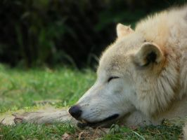 Let Sleeping Wolves lie by DingoDogPhotography