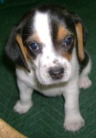 Beagle Puppy - I by DemberPhotos