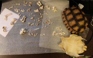 Sulcata tortoise WIP by BluesCuriosities
