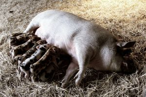 Piglets and Mother by candarama