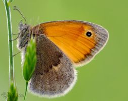 ..:Coenonympha pamphilus:.. by efeline