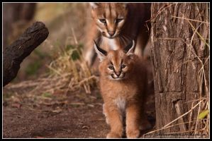 Caracal cub by AF--Photography